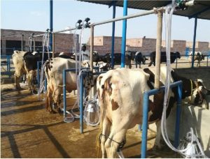 bucket milking system